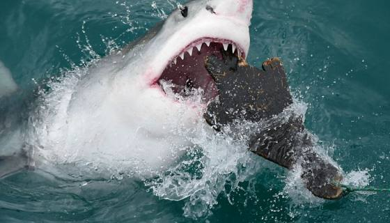 Great White Shark (carcharodon Carcharias) Attacking A Seal Shaped Decoy ... (29724038004)