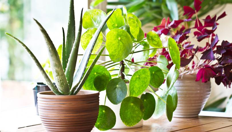 Purify Your Home's Air Through Plants